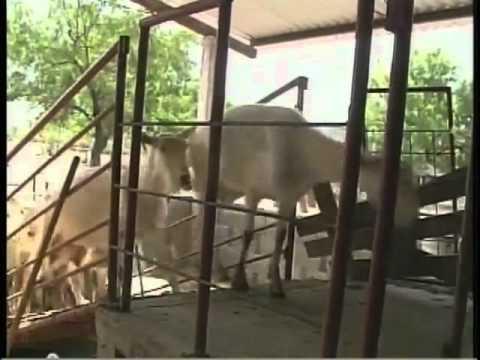 Crianza de Cabras para Leche y Carne en  Dr Gonzalez NL