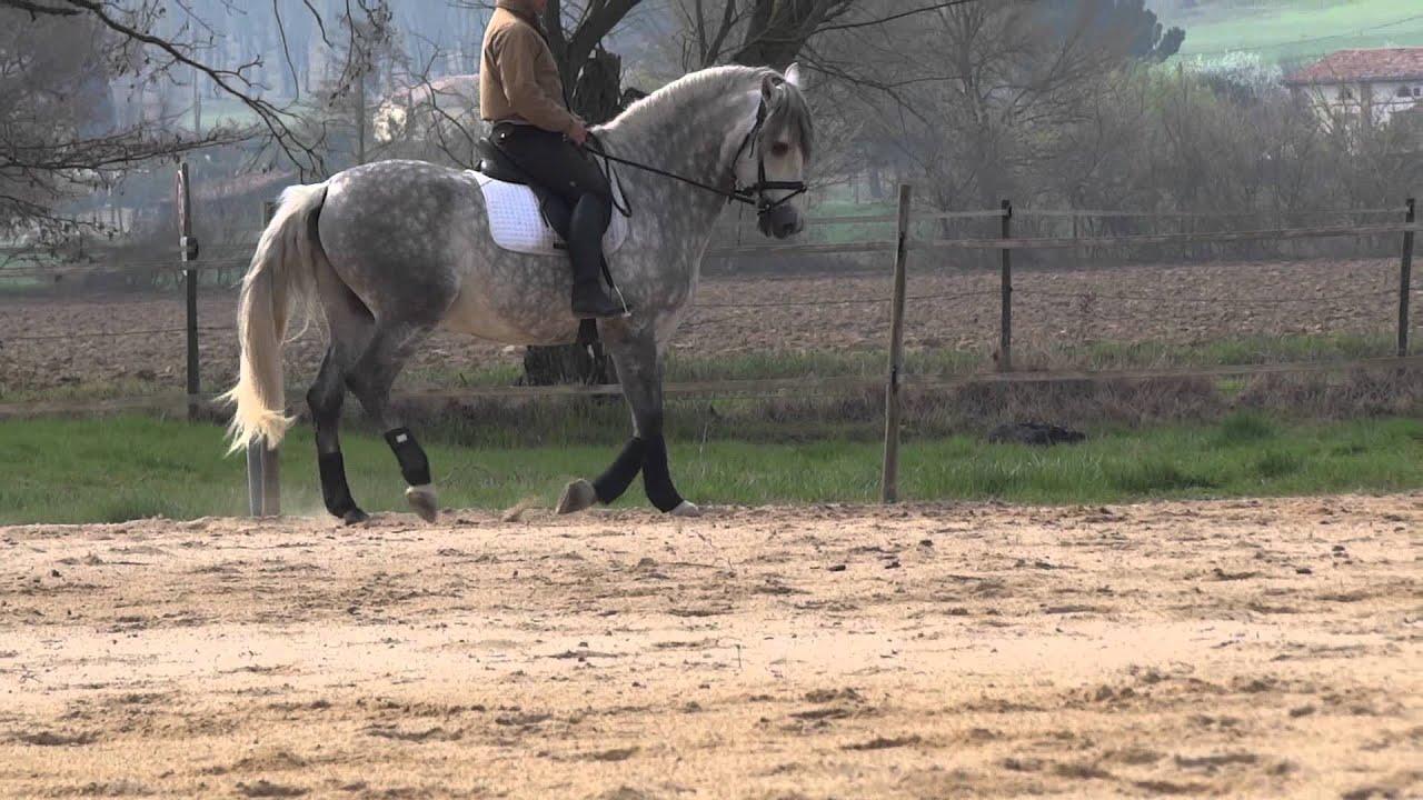 cheval espagnol a vendre albero galo tr s bon mod le pre youtube. Black Bedroom Furniture Sets. Home Design Ideas