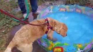 Golden Retriever And Mini Pool