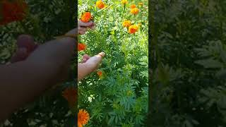 Field Bunching Our Marigolds for Drying Dried Flowers