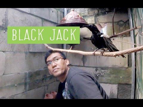 DUNIA HOBI : BLACKJACK - Operasi Penangkapan Kacer Liar Gacor Dada Hitam