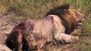 Lwy z Sabi Sand- Śmierć Lwa