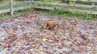 Cute Dachshund Plays In Leaves