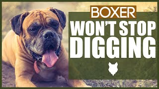 How To Stop Your BOXER DIGGING