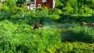 Ca de Bou watering the garden...