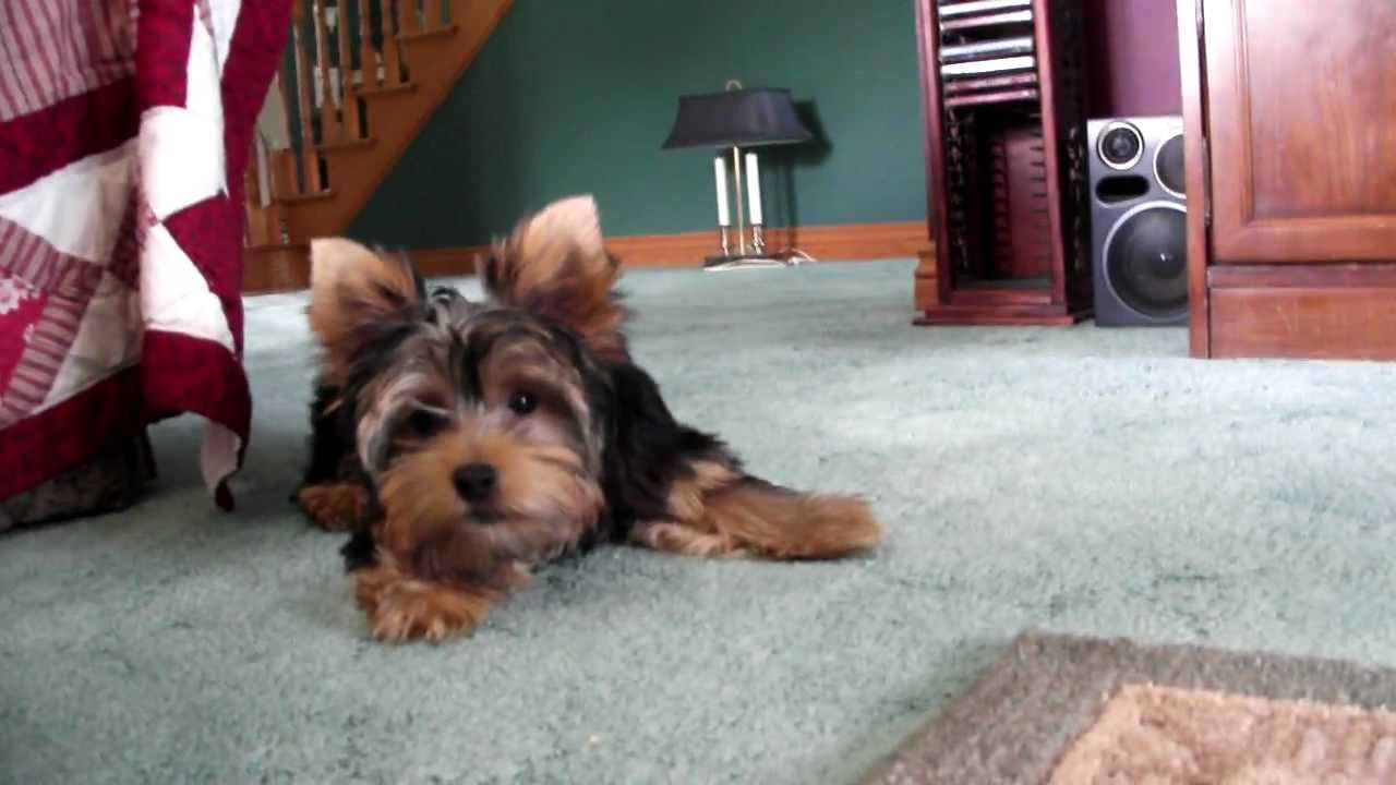 Maggie Yorkie Puppy 21 Weeks Barking Like Crazy And Scared Of