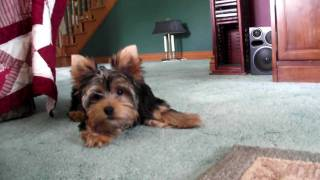 Maggie: Yorkie Puppy - 21 Weeks. (barking Like Crazy! And Scared Of The Camera.. I Think)