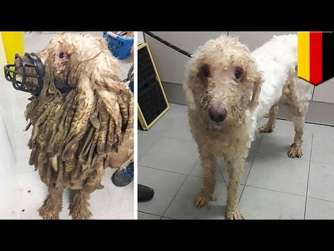 Thumbnail: Extreme dog fur: 'Rasta' dog, 69 other mistreated animals rescued from their own filth - TomoNews