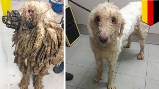 Extreme dog fur  'Rasta' dog, 69 other mistreated animals rescued from their own filth   TomoNews