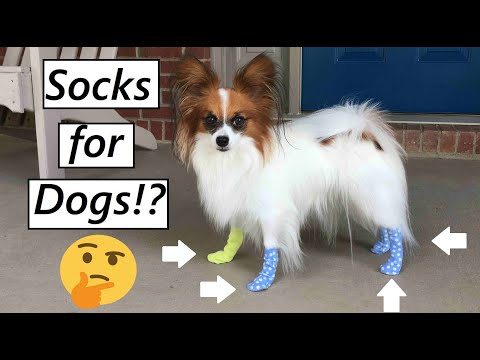 Putting Socks on My Dog (Funny) Percy the Papillon