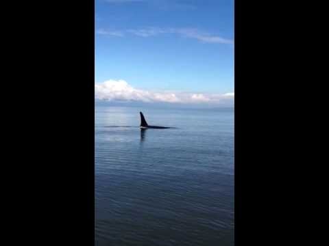 Killer whales and salmon