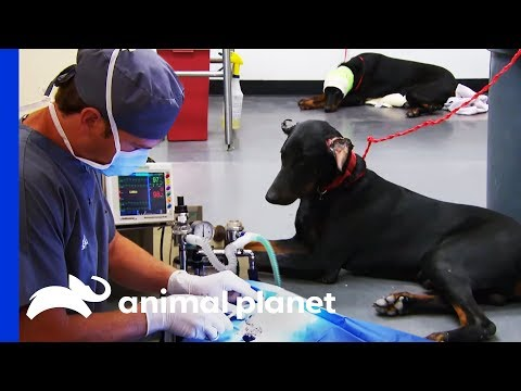Two Doberman Brothers Have Severe Ear-Cropping Injuries | Animal Cops Houston