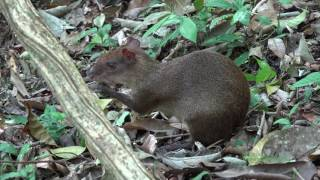 An Agouti Eating Pulp of the Dipteryx panamanensis Seed Coat