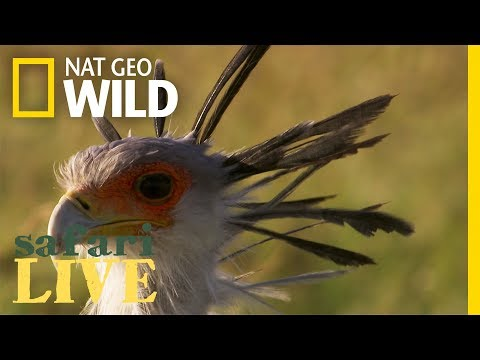 This Bird Takes Down Prey With Its Bone-Shattering Kick | Nat Geo Wild