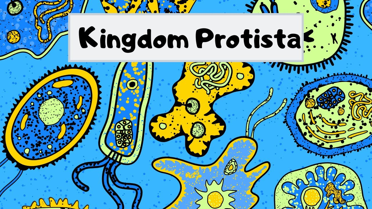 small resolution of Kingdom of Protista - YouTube