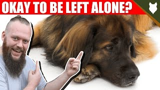 Can a LEONBERGER be left alone?