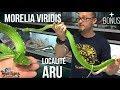 Morelia viridis (Python vert) - La localité ARU