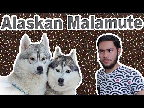Alaskan Malamute - Características