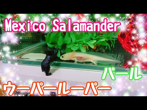 Mexico Salamanderウーパールーパーのパールちゃん成長中✨