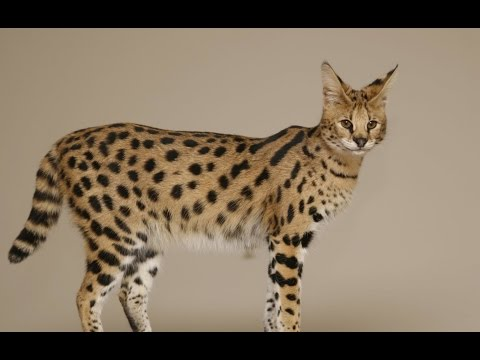 Savannah (cat) History,Temperament,Health considerations,Ownership laws
