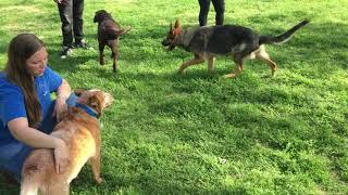 Cattle dog corrects German Shepherd