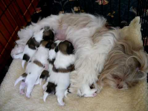 shih tzu feeding 2 weeks old shih tzu puppies feeding on mum youtube 3814