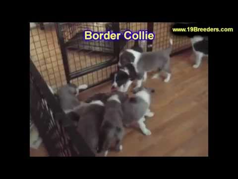 Border Collie, Puppies, For, Sale, In, Badger, County, Alaska, Ak, Kink Fairview, College