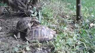 turtles having sex in garden