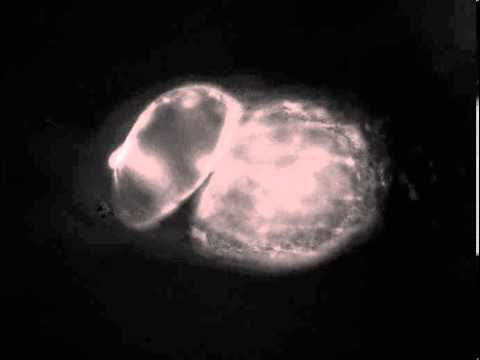Tadpole beating heart