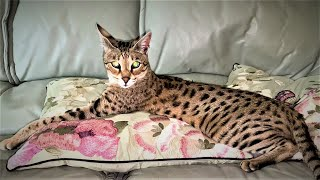 Top 10 Tips on owning a Savannah cat