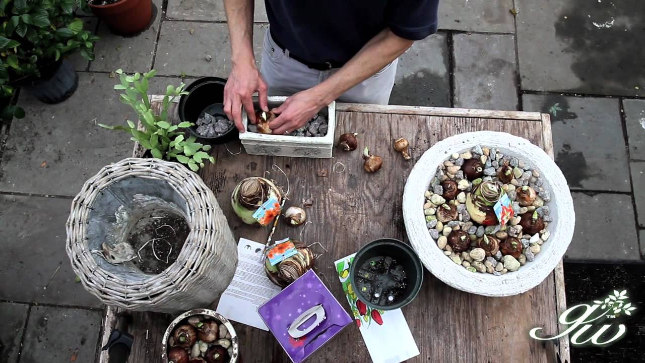 planting bulbs in containers for flowers in winter youtube