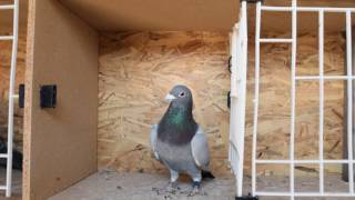 Pigeon Racer - 924 km Berlin National - Yearling Latebreed !!!