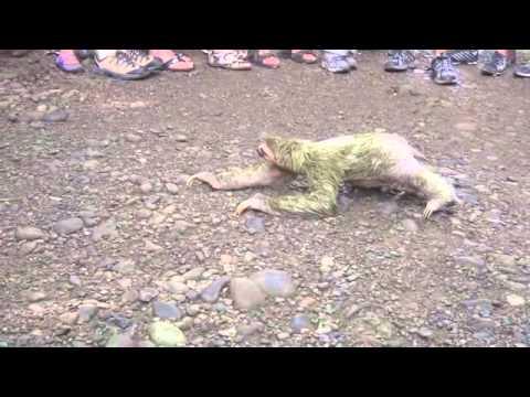 3 toed Sloth, slowest mammal, Costa Rica...