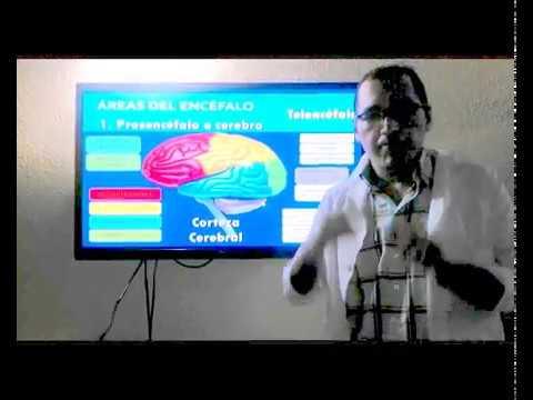 Estructura Interna Y Externa Del Cerebro Youtube