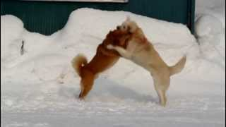 タロウと、近所の白犬が、メス犬をめぐって、決闘をしているところです...