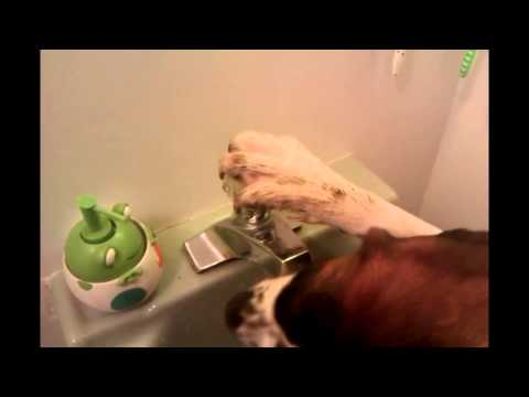 Smart Dog Drinks From Bathroom Sink