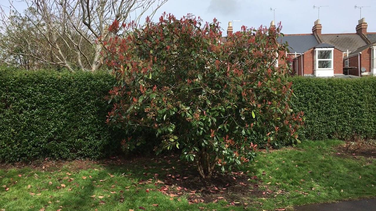 Photinia Red Robin Shrub March 2018