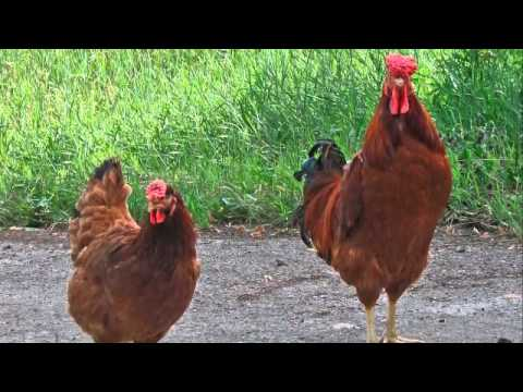 Ayam Jantan Ayam Betina Mariani Noramin Youtube