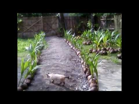 Tacunan and Catigan Dwarf Coconut Seedlings for Sale