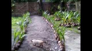 Tacunan And Catigan Dwarf Coconut Seedlings Sale