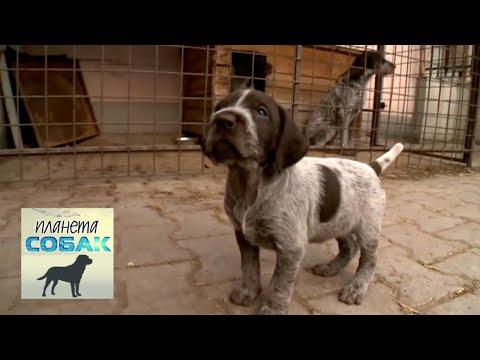 Чешский фоусек. Планета собак 🌏 Моя Планета