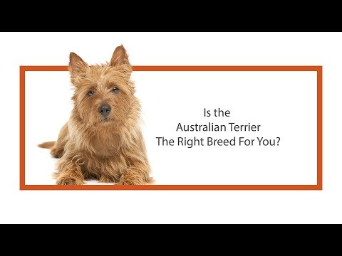 Learn all about the Australian Terrier and why they could be your perfect pet!