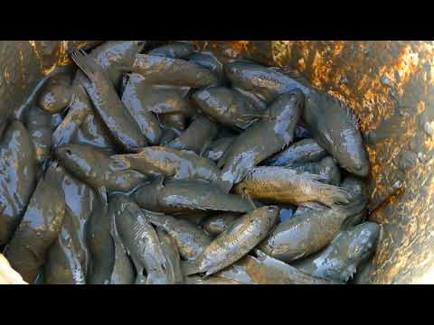 Wow amazing A Lot of fishes dry water in dry season catch fish By hand in mud at field by a fisher