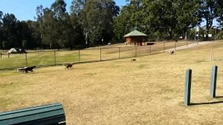 Remote Control Car Versus Beagle Pack,  Round 1