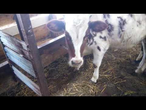 Сарай для коров правильное планирование и строительство