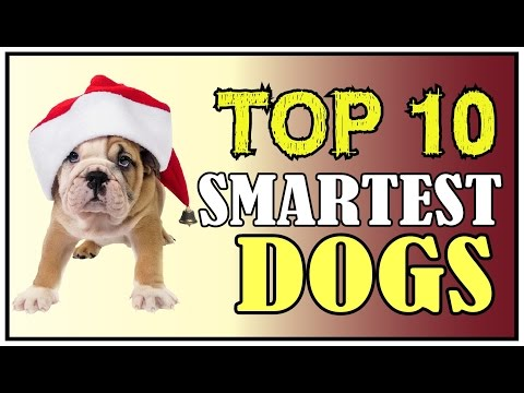 TOP 10 SMARTEST DOGS !! Top 10 Intelligent Dogs in the World✔