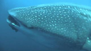 Amazing Whale Shark encounter while diving Gordo Banks