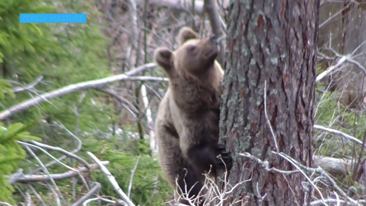 VIDEO V Staroľubovnianskom okrese zaznamenali pohyb medveďa, roztrhal ovce