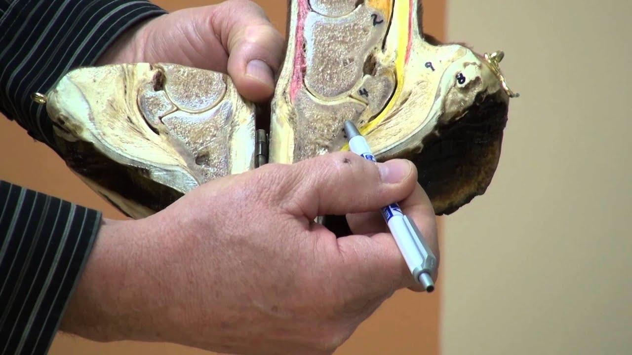 Footpro Farrier Info Series Anatomy Of The Hoof Youtube
