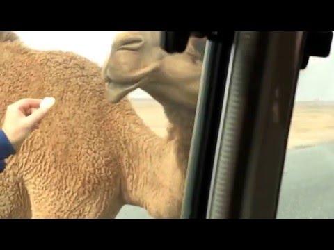 193 - Adarn-its: The Adarna meets a Camel in Kuwait